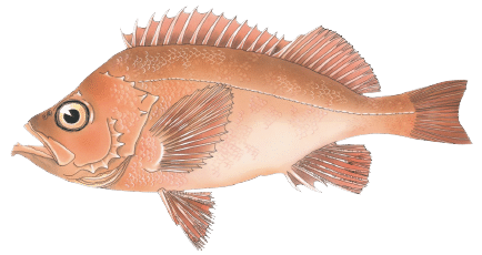 Acadian Red Fish