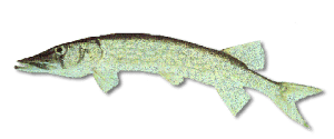Chain Pickerel