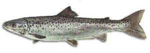 Landlocked Salmon
