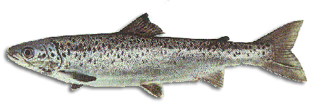Fishing for Landlocked Salmon